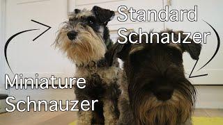 Miniature & Standard Schnauzer Size Comparison | Burt Updates #8