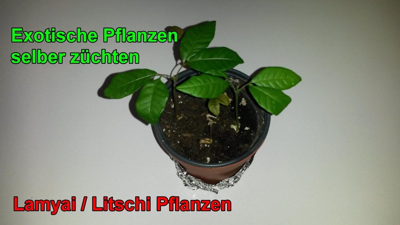 Schon Longanbaum ( ähnlich Wie Litschibaum ) Züchten   Lamyai ( Longan ) Pflanzen  Selber Ziehen