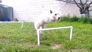 Westie Jumping Dog Hurdles In Slow Motion. Part 1