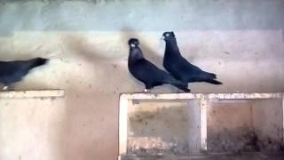 Бойные голуби Борсая Виталия в голубятне