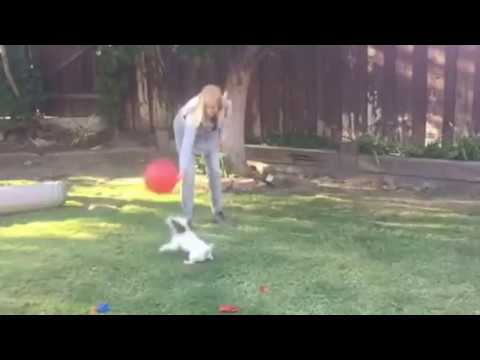 Pippin, first time, balloon popping dog