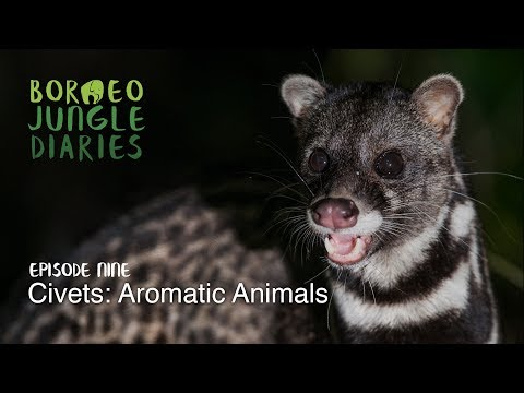 Borneo Jungle Diaries: Episode Nine - Civets: Aromatic Animals [UHD/4K] SZtv