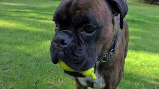 Don't watch this video if you hate cute boxers playing. You have been warned!