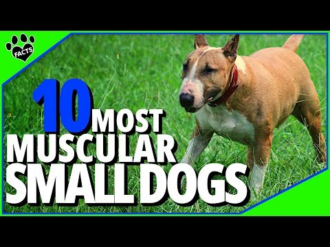 Muscular Small Dogs Breeds