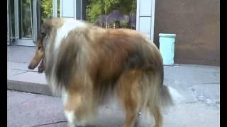 Колли порода собак Dog Collie рабочие собаки активные выносливые