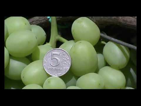 Сорт винограда селекции В. Н. Крайнова Дарья (Daria grapes)