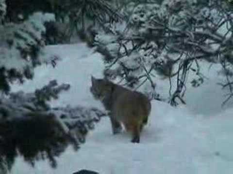 bobcat eating a deer youtube