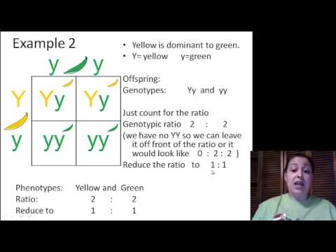 Genotypic Ratios And Phenotypic Ratios For Punnett Squares
