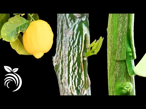 Grafting Lemon Trees – Grafting Fruit Trees by T-budding