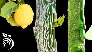 Download lagu Grafting Lemon Trees – Grafting Fruit Trees by T-budding