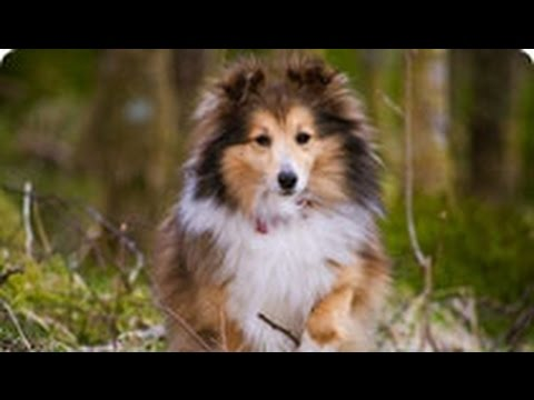фото шелти собака
