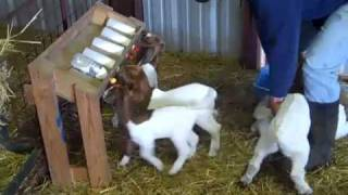 Goat   Young and young male goats are put in one cage, see which goat is doing