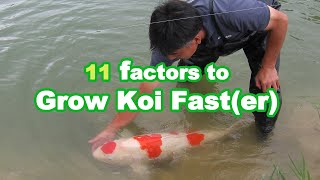 GROWING KOI BIG   11 Factors That Influence Koi Growth [GROWTH GUIDE]