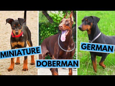Doberman Pinscher vs Miniature Pinscher vs German Pinscher