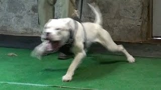 "Dogo Argentino ""Achillies"" Protection training!"