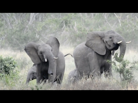 Thumbnail: Elephants Run Away From Swarm Of Bees
