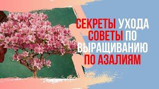 Все о Азалиях. Советы по уходу за Бонсай (Rhododendron)