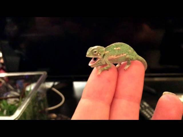 BABY CHAMELEON  Changes  Color Pattern (1 DAY OLD)