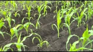 Мотоблок Зубр НТ 105.  Окучивание кукурузы лучевой картофелекопалкой(Кукуруза высокая, пробовал двумя окучниками, не получилось, валило кукурузу, тогда решил таким образом...., 2014-06-15T06:08:54.000Z)