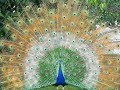 (*Nice*) Rare Peacock images,Peacock Pictures,Peacock Photos,Peacock Wallpapers Video