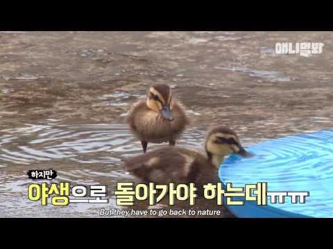 물에 사는 오리가족이 회사 옥상에? 오리날다! | SBS 동물농장x애니멀봐
