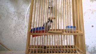 Repeat youtube video นกพม่า เบิ้ลเพลง3 เพลงร้อย แกนโตๆ