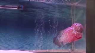 Clifford, International Flowerhorn Competition