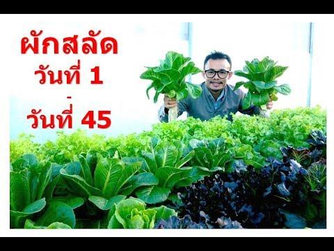 Vegetable 1 - 45 days