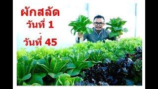 Hydroponic Farming Vegetable 1 - 45 days. ปลูกผักไฮโดรโปนิกส์