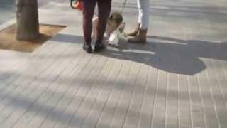 Pug Sighting Before Gospel Preaching In Spain