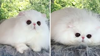 Beautiful Persian Kitty Turns Into Liquid