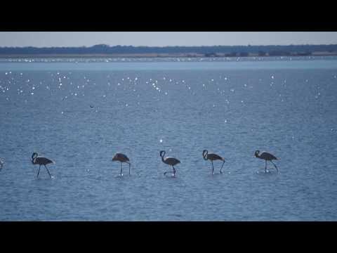 P5190012   Statige optocht van flamingos, bij Kukonje Island