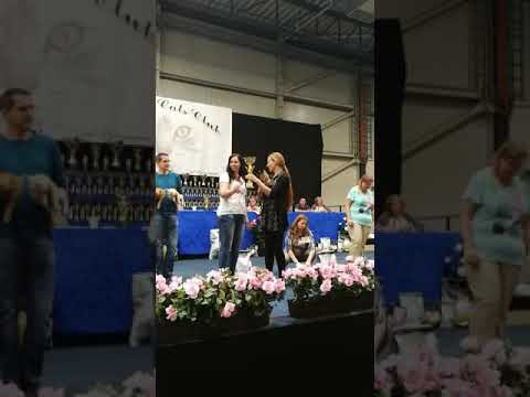 Tonkanees Tonkinese cat is Best In Show BIS and nominated Best Over All BOA!!!!!