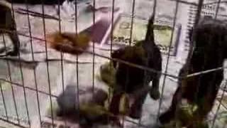 Border Terrier Pups Winsom 3
