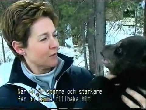 Amanda Burton in Black Bear Rescue_part 1   - Idaho Black Bear Rehab, Inc.