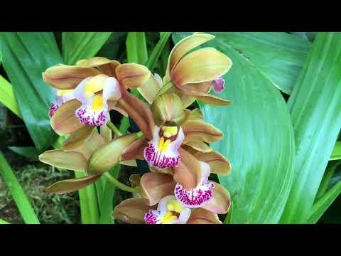 MISSOURI BOTANICAL GARDEN ORCHID SHOW 2018