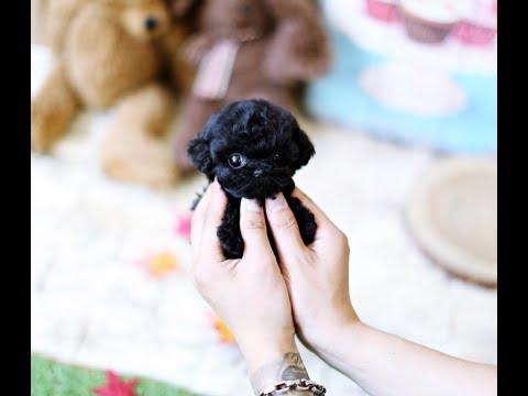 Black Poodle Toy Poodle Teacup Puppy