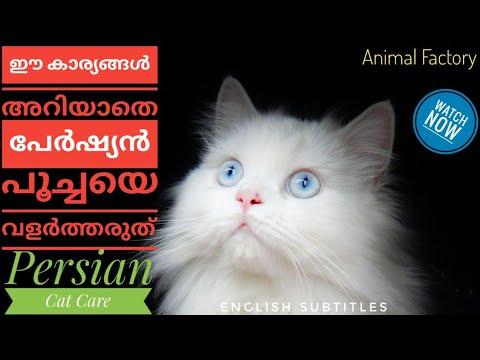 How to care Persian Cat | Malayalam | Animal Factory