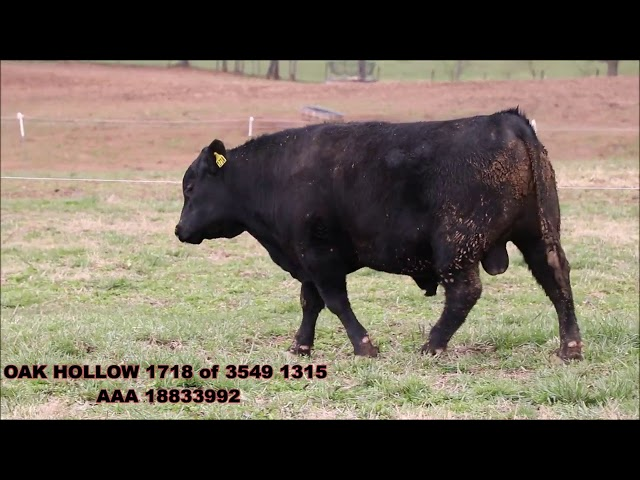 Oak Hollow Angus Lot 23