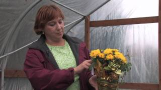 Tree & Plant Care : When Is the Best Time to Transplant Mums?