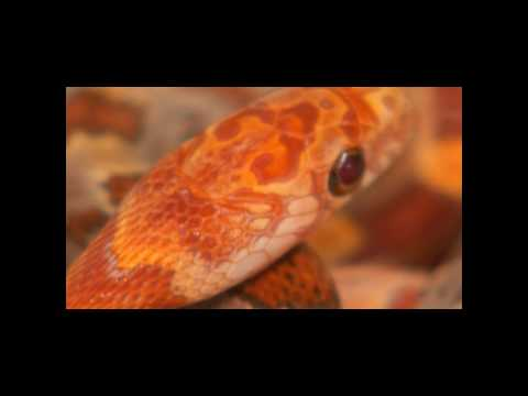 Ultra Sunkissed Corn Snake