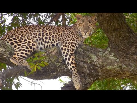 Just A Beautiful Leopard Sighting - 10 December 2012 - Latest Sightings