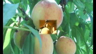 Мой сад [Персики Крыма](, 2013-04-01T19:20:17.000Z)