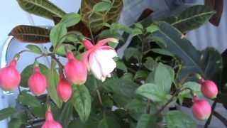 Комнатные цветы моей мамы. Правила ухода за ними.(Мамины комнатные цветы приходят в себя после жары. зацветает фуксия, оживает герань, петуния выглядит бодре..., 2014-08-24T15:31:29.000Z)