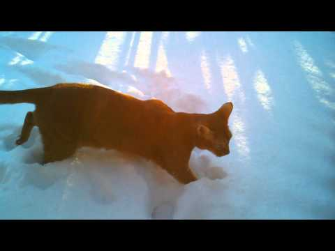 Abyssinian cat Merlin discovers snow for the first time.