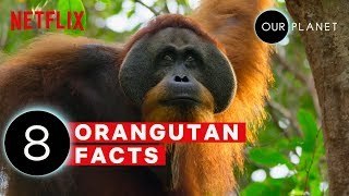 8 Mind Blowing Orangutan Facts | Our Planet | Netflix Futures