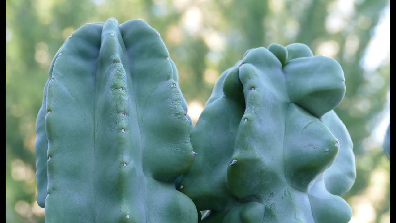 Totem pole cactus monstrous form