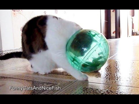 Funny Cat Rocky and Hamster Ball