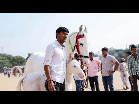 Marwari horse Pushkar Mela Fair 2018 RDGohilvideography