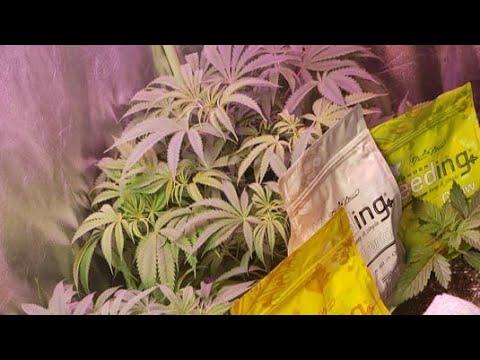 girl-scout-cookie-extreme-autoflower-from-ilovegrowingmarijuana-under-marshydro-ts600